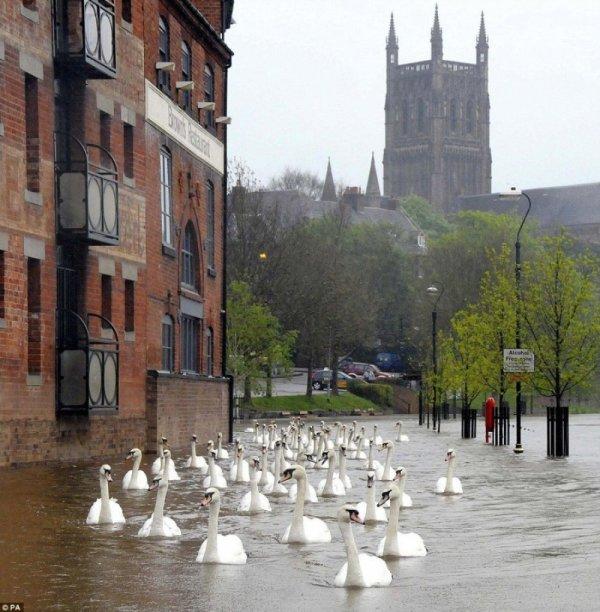labudovi-plivaju-ulicom-nakon-poplave-u-velikoj-britaniji-15