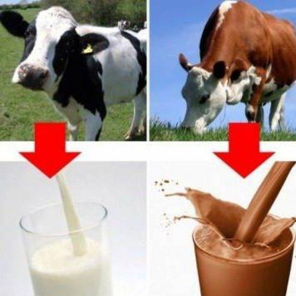 braon-krave-daju-cokoladno-mleko-5