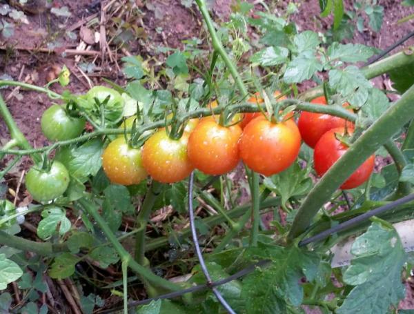 paleta-paradajza-14