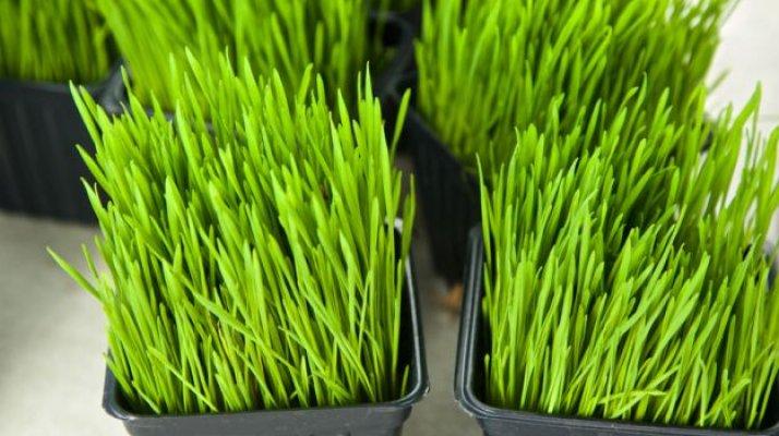 psenicna-trava-1