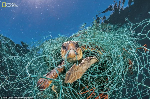4c49c7d900000578-5733223-trapped-in-plastic-an-old-plastic-fishing-net-snares-a-loggerhea-a-18-1526419508009
