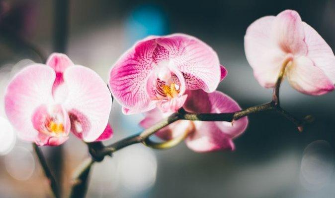 orhideja4