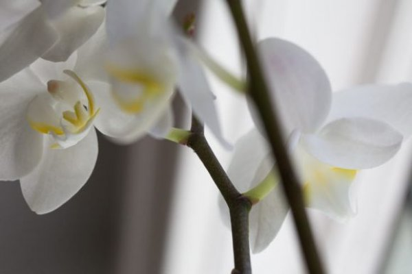 orhideja5