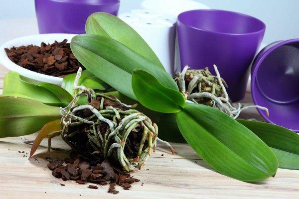 orhideja6