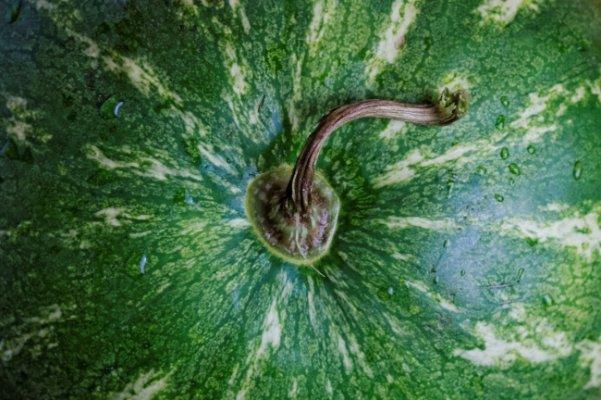 lubenica3