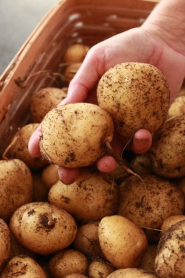 krompir10
