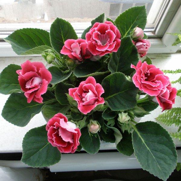 gloksinija-kucno-cvijece