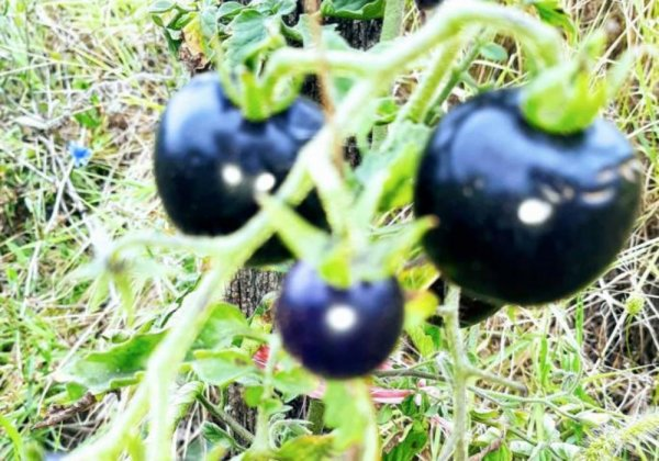 816063-crni-paradajz-ff