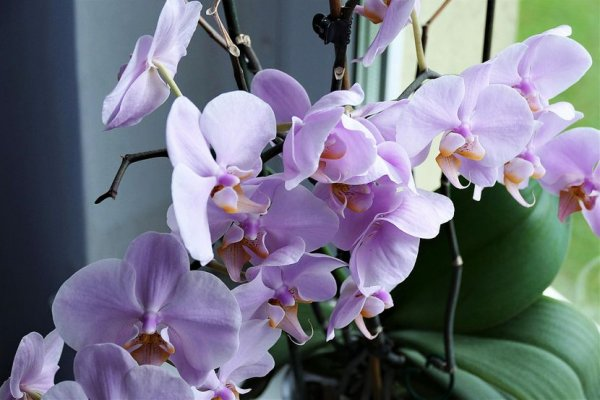orchid-26679841920-830x0