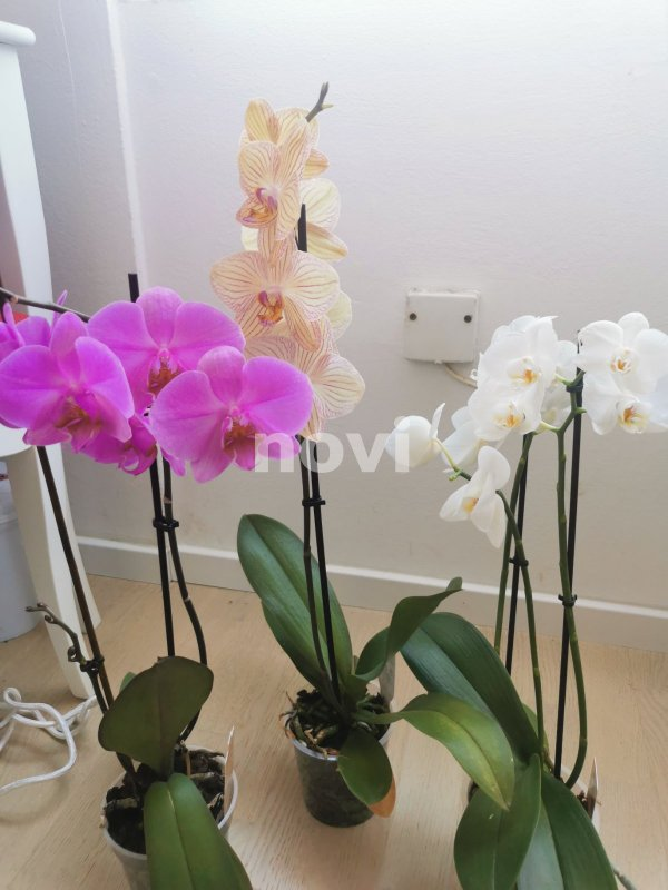 orhideja-novi-ba