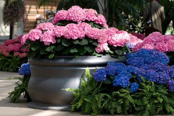 uzgoj-prelepe-hortenzije-u-saksijama
